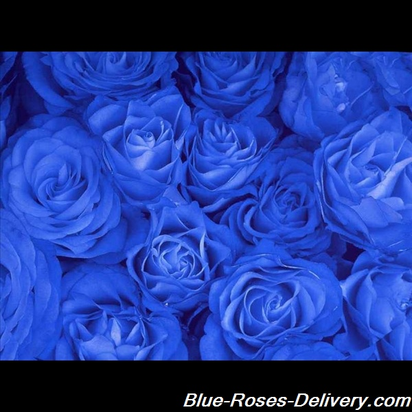 Blue Rose Wallpapers Flower Images Pictures And Backgrounds