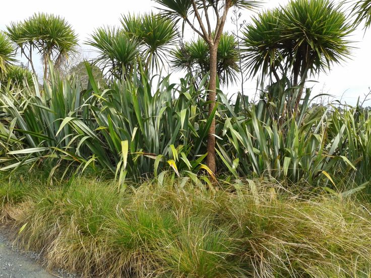 Flax with carex & cabbage trees