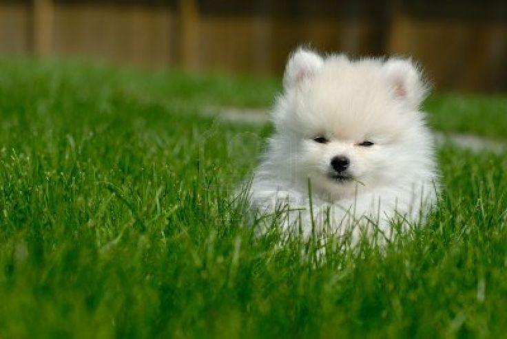 pomeranian puppy Pomeranian Love Pinterest Puppies