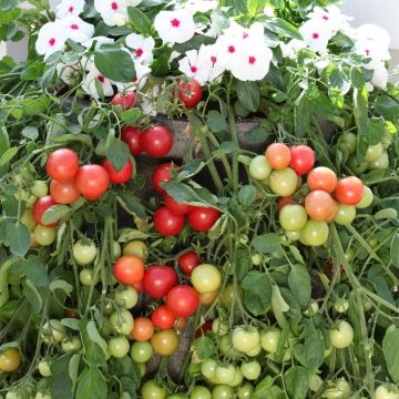 'Cherry Falls' ----  Tomato Trailing-- NEW FOR 2012--    Very vigorous variety suited to large baskets and containers. Cherry Red fruits crop heavily over a long harvest period. Tidy habit as a young plant and good early establishment makes Cherry Fountain ideal for young plant sales. Matures in 60 days