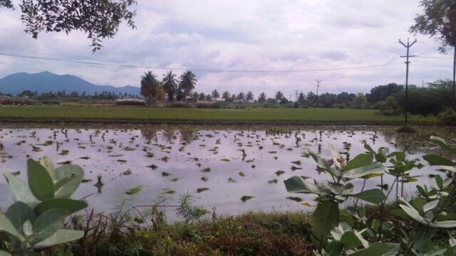 Paddy plantation