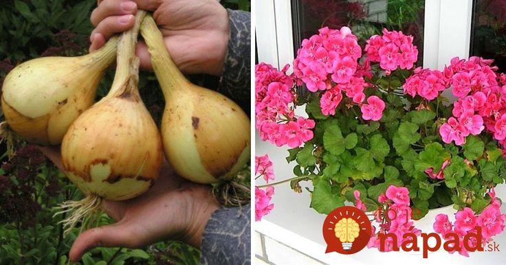Naše babičky boli kúzelníčkami nielen v kuchyni, ale aj v záhrade. Vďaka bohatým skúsenostiam a tomu, čo okolo seba našli, dokázali vykúzliť bohatú úrodu a nádherné kvety. Ich triky fungujú aj dnes a verte nám, oplatí sa poznať ich!