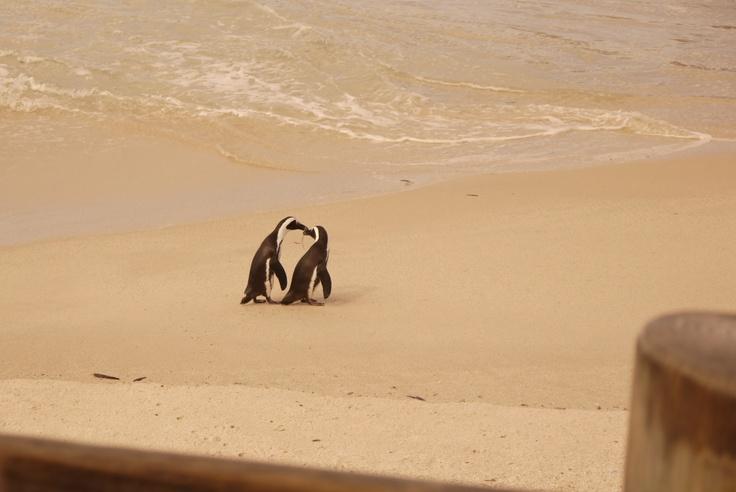 penguins, Boulders Beach, South Africa