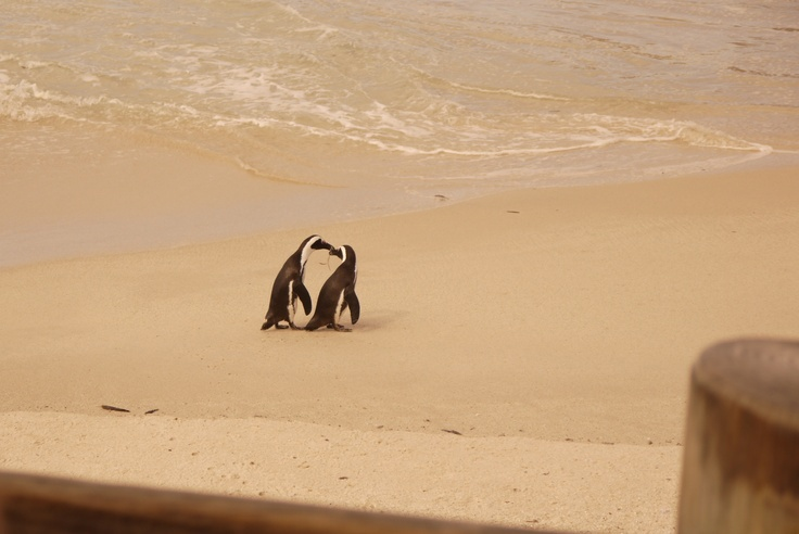 penguins, Boulders Beach, South Africa