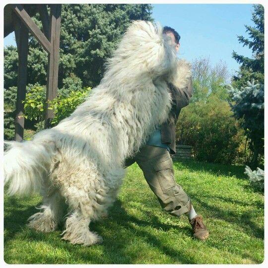 2015. szeptember Vándor#komondor#dog