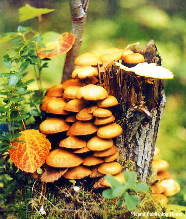 Wood mushrooms in a forest of the Komi Republic of Russia