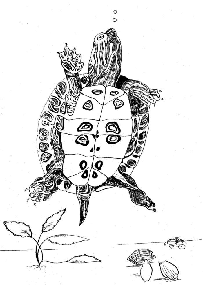 Красноухая черепаха рисунок /Main 486174 original