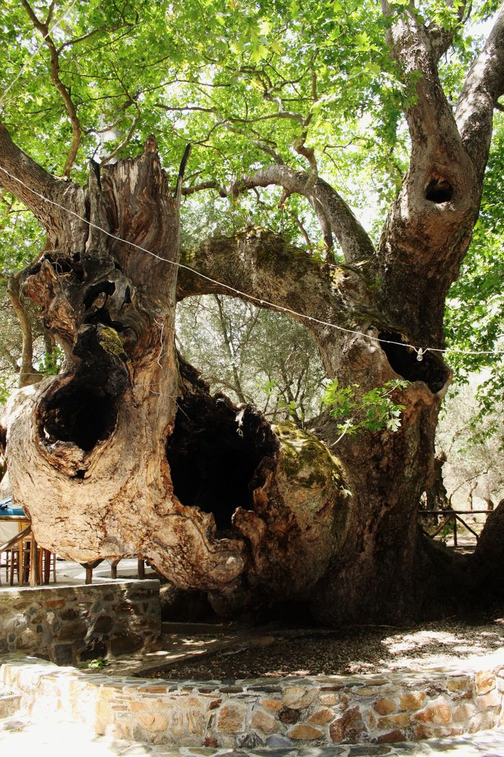 Old tree. Big tree. Crete. Greece.  Photo: http://se.pinterest.com/berggren_f