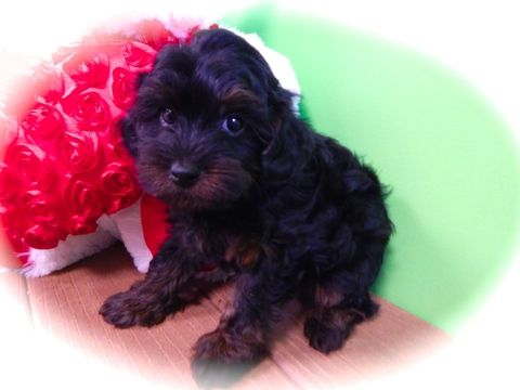 Poodle (Toy)-Yorkshire Terrier Mix puppy for sale in HAMMOND, IN. ADN-27305 on PuppyFinder.com Gender: Male. Age: 8 Weeks Old