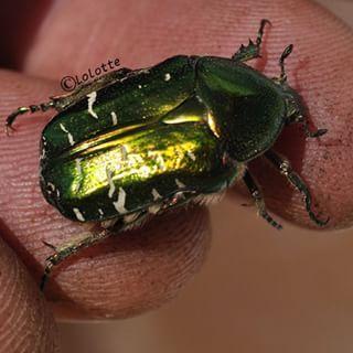 scarabée dans le jardin