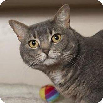 Denver, CO - Domestic Shorthair. Meet Chanel, a cat for adoption. http://www.adoptapet.com/pet/14904941-denver-colorado-cat