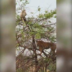 Wild tiger climbs tree to chase monkey and her baby  Credit: Caters News Agency #news #alternativenews