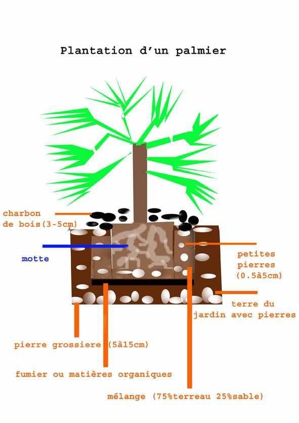 Palmiers ornementaux
