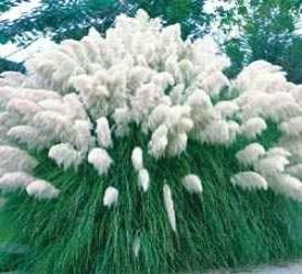 White Pampas Grass - Cortaderia selloana - Ornamental Grass - Streambank Gardens---drought tolerated and whitle plumes in late summer  to early spring.