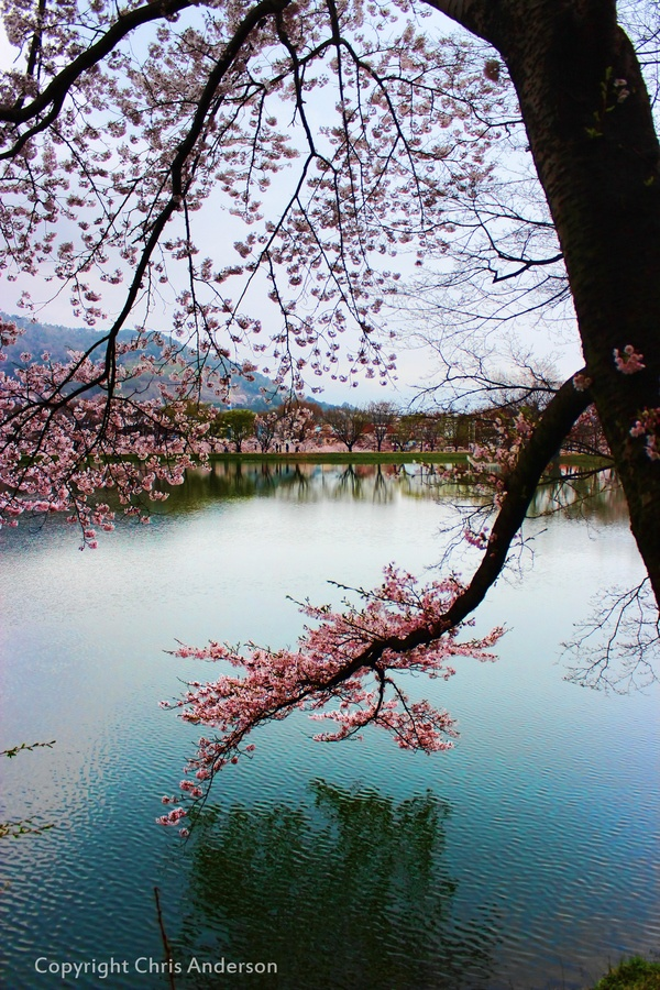Cherry blossoms in Korea  #beautiful