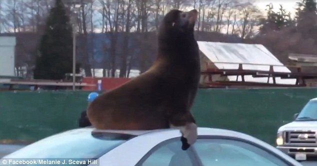Adorable video shows sea lion relaxing on a parked CAR | Daily Mail Online