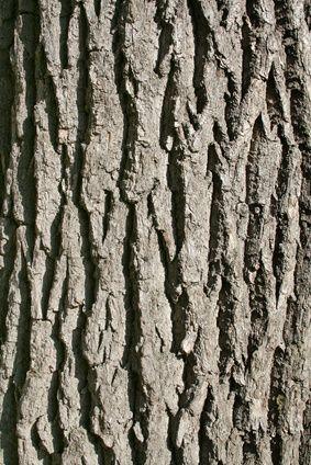 How to Identify Oak Trees by Bark