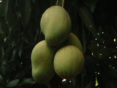 Árbol de mango | Cuidar de tus plantas es facilisimo.com
