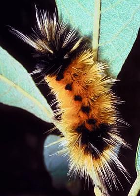 Wooly Caterpillar: Hi Avia,  I have been following your site for a long time and sincerely enjoy it and I have increased my knowledge of nature and it's symbolism. I have