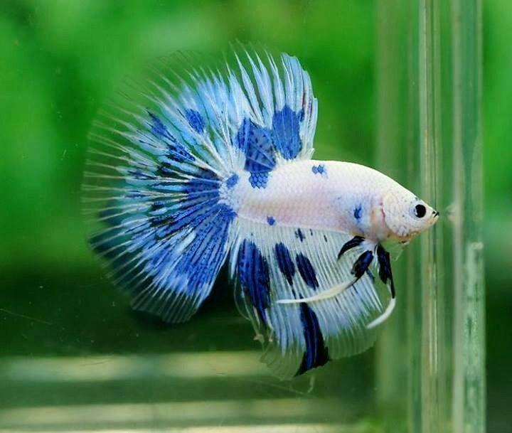 267 best siamese fighting fish betta images on pinterest for Best betta fish