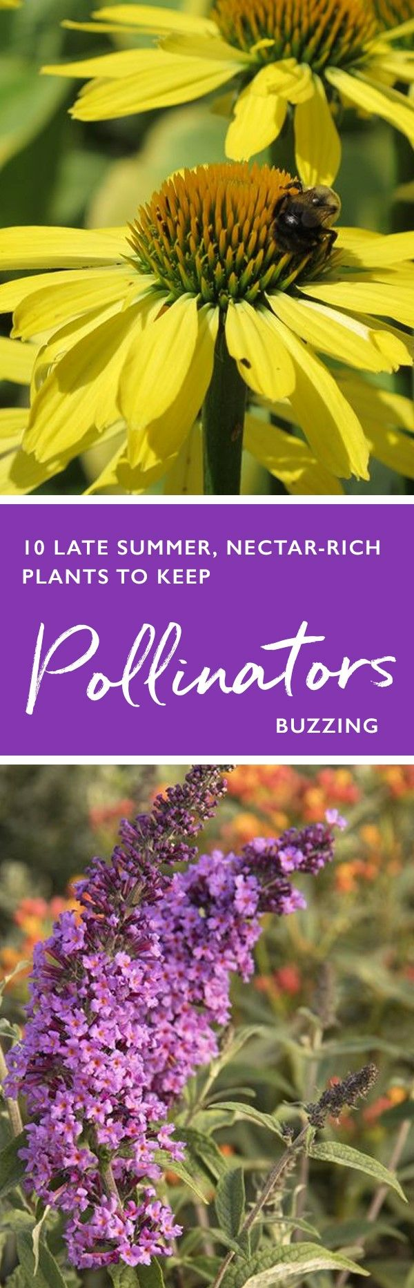 Did you know late-flowering plants bloom late in order to supply pollinators with a constant supply of food right up to last call in autumn? Here are a few late-blooming flowering plants that you can plant right now that'll have pollinators all aflutter come autumn.