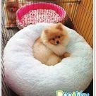 Cozy Pomeranian