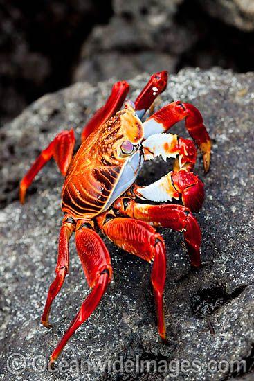 Sally Lightfoot Crab (Graspus graspus), searching for algae in the intertidal zone / Santa Cruz Island, Galapagos, Equador