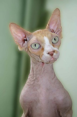 Hairless Sphinx...I feel like I'm the only person who loves these cats.