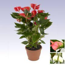 Flamingóvirág piros, Anthurium andreanum 40-50 cm magas 14cs