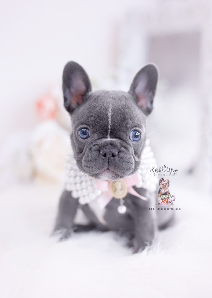 Blue Eyed Frenchie Bulldog Puppy 299 A Teacup Puppies Puppies