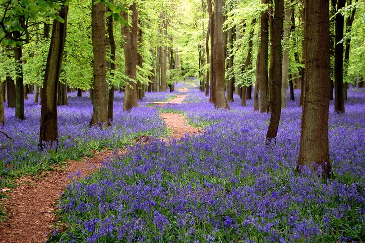 I want to stroll through wild bluebells. Springtime in England.: Green Wood, Amazing Photography, Favorite Places, Natural Beautiful, Bluebel Wood, Wild Bluebel, Beautiful Places, Ashridg Wood, Beautiful Things
