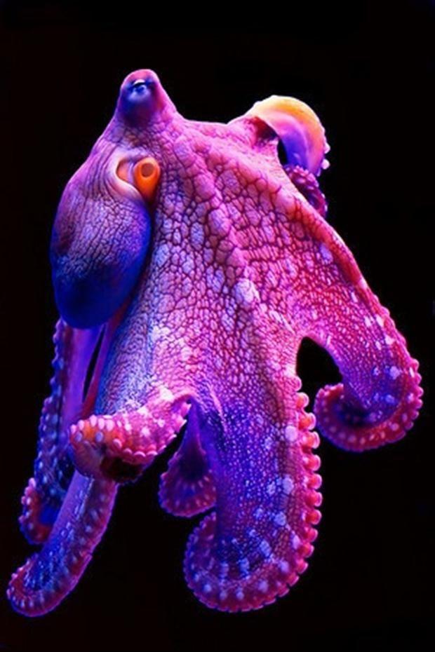 Amazingly Colorful Hawaiian Octopus ~ Ocean Pictures