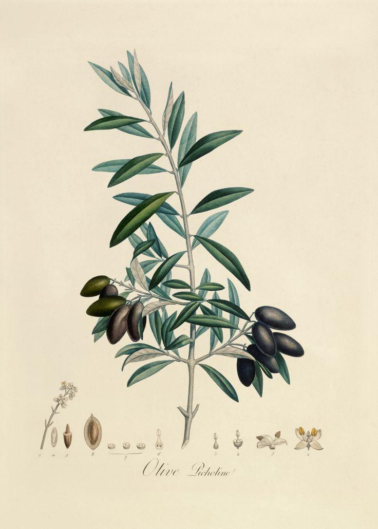 Olive illustration #art #illustration www.varaldocosmetica.it/en #essenzadiriviera  olive oil skin care.