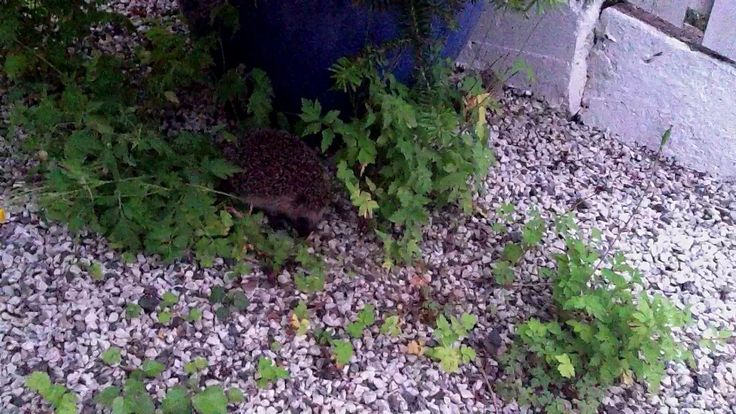 Bolla pinnsvin viser oss babyen sin :) / The hedgehog Bolla visits and shows her baby :). For many years we have had hedgehogs in our garden...