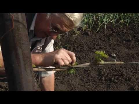 Первые зелёные операции с кустами винограда. 2-я часть. - YouTube