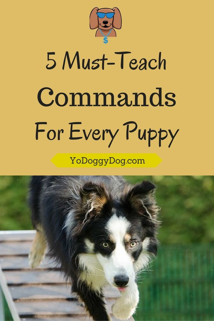 5 Basic Must Teach Commands Dog Training Denver Dog Training