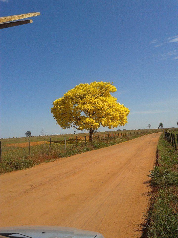 A estrada de terra fica até mais gostosa ao cruzar com esse ipê. Clique de Gabriel Polon, de Campo Grande (MS)