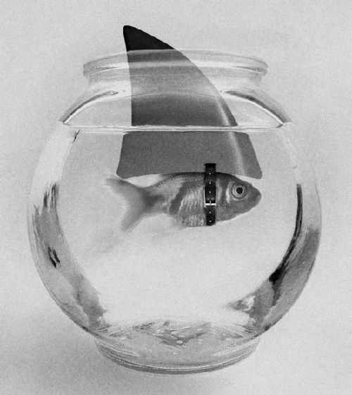 shark attackWater, Thinking Big, Dreams Big, Sharks Tanks, Funny Animal Pictures, Sharks Weeks, Small Ponds, Sharkweek, Goldfish