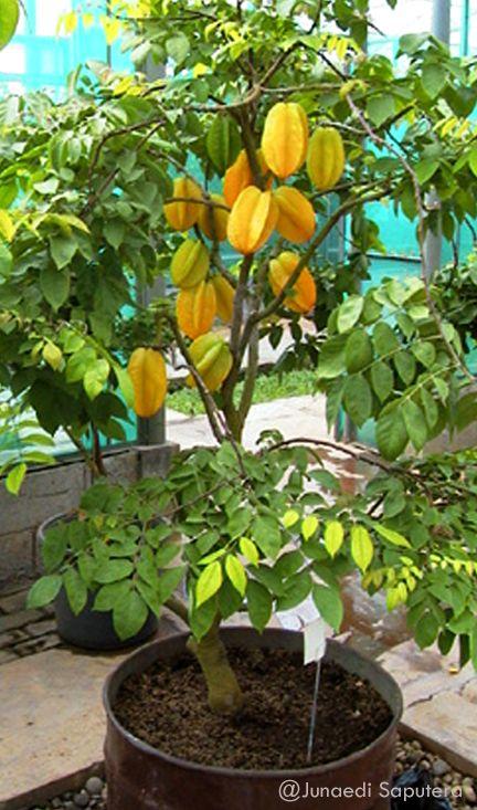 Belimbing Dewi/Star Fruit (Averrhoa carambola) Collection Taman Buah Mekarsari