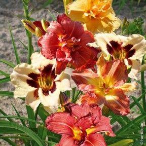 Hémérocalles Hybrides à Fleurs Doubles en mélange