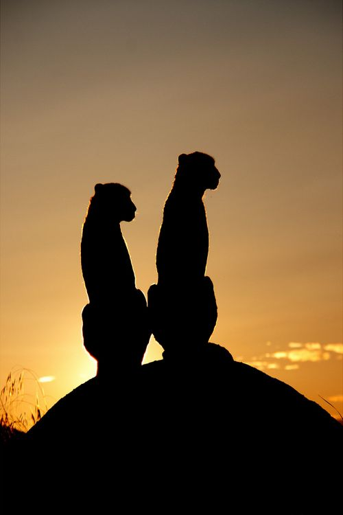 wonderous-world:  Cheetah's sunset by Regina F
