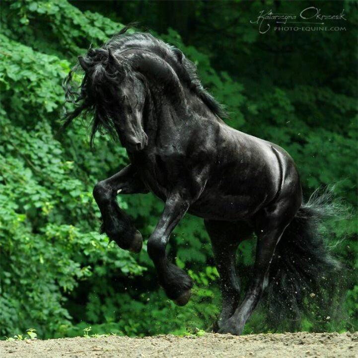Fresian horses take my breath away every time.
