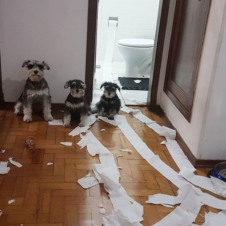 "1,517 Likes, 109 Comments - Sebastião, Frida e Freud (@sebastiaofridafreud_schnauzers) on Instagram: ""Breaking news: Schnauzer Massive Destruction Weapon ☠☣ URGENTE!!! Família de 3 Schnauzers sofre…"""
