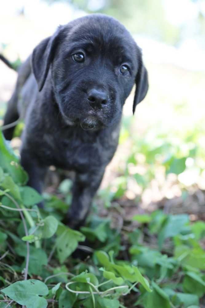 Labmaraner dog for Adoption in White River Junction, VT. ADN-617502 on PuppyFinder.com Gender: Male. Age: Baby