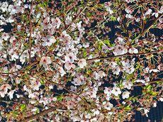 2014/4/14/ 日岡山公園でお花見バーベキュー。