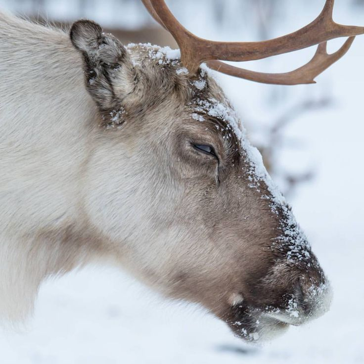 This reindeer was sooo tired that it didn't care about me at all.