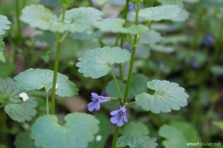 Wundheilung vom Wegesrand. Dieses Rezept für Wildkräutersalbe beschleunigt die Heilung von hartnäckigen Entzündungen und Abszessen auf Basis der Natur!