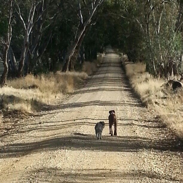 Hans and his friend Valentino had a lot to chat about on our walk this morning.  #dogperson #schnauzer #fabfrau #kyneton #countrylife #bushland #countryroad #dogwalking