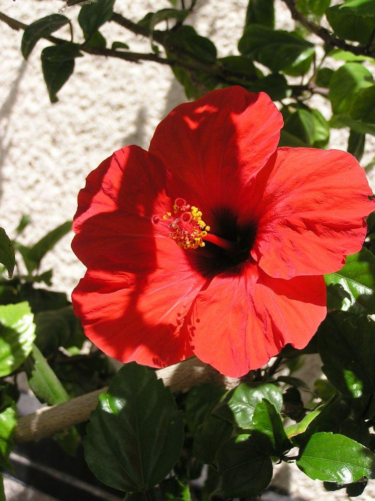 Haiti / Haití Chinese hibiscus, China rose, shoe flower