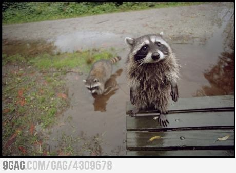 Amazing puppy face of a raccoon!
